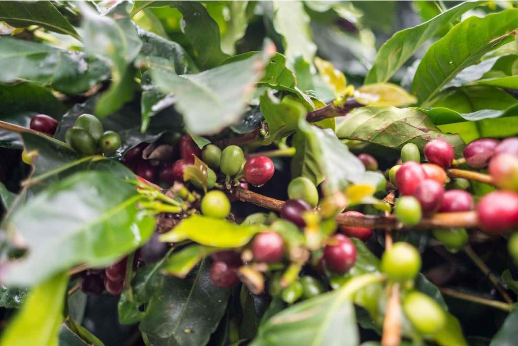 Kaffeekspedition til Colombia november 2019