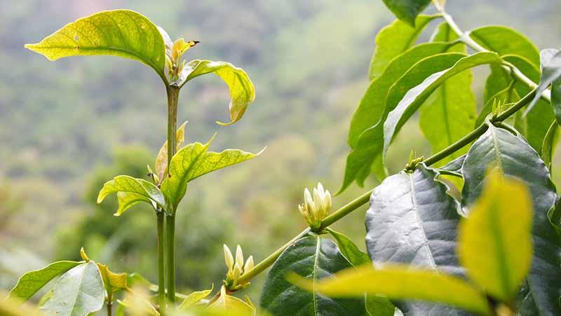 Kaffetræ i blomst
