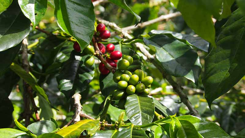 Kaffebær