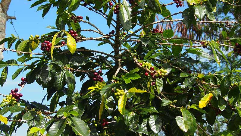 Kaffetræ med bær